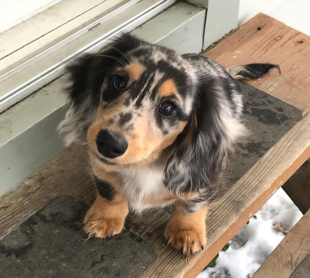 Purchase Long Haired Silver Dapple Miniature Dachshund For Sale Up To 68 Off